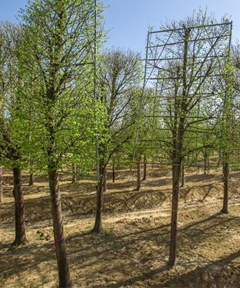 Toţi cei 1.400 de arbori din viitorul parc Openville au ajuns la Timişoara. Pot fi admiraţi în vecinătatea ansamblului